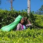 tea pluckers 8