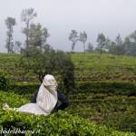 tea pluckers 7