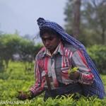 tea pluckers 6