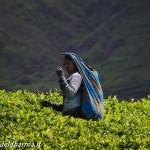 tea pluckers 2
