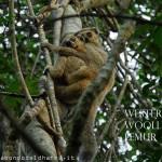 western woolly lemur